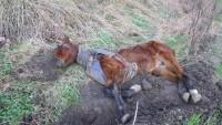 Ölmek üzere olan at hayata böyle döndü