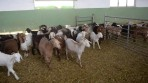 Keçi sütünde Kovid-19'a karşı etkili protein keşfedildi